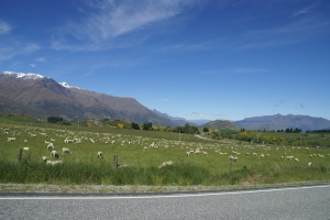 It's true. Lots of sheep in New Zealand