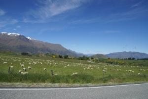 It's true. Lots of sheep in New Zealand
