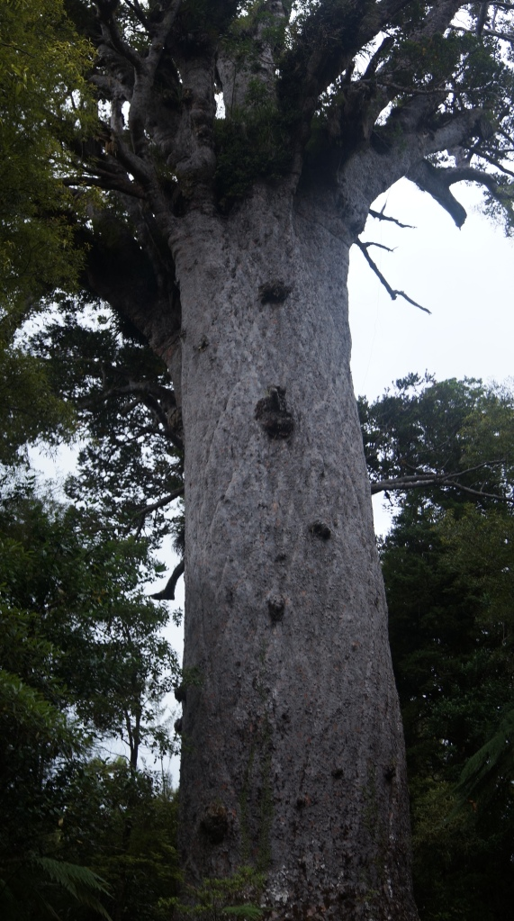 Tane Mahuta, New Zealand's largest living Kauri tree and some 2000 years old.