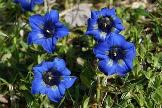 Glorious Enzian (Gentian) on the upper Pyrennean slopes